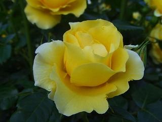 代々木公園のバラ2