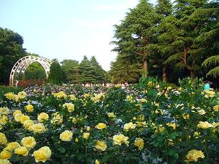 代々木公園のバラ3