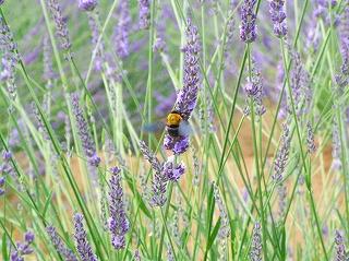 ラベンダーに止まる蜂