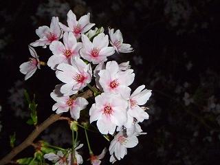 自宅近くの夜桜