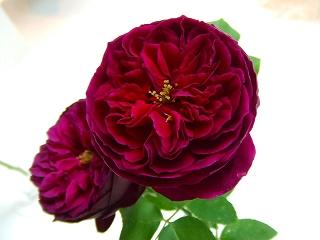 バラ職人新種のバラ1