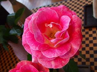 バラ職人新種のバラ2