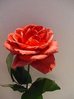 バラ職人新種のバラ7