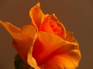 バラ職人新種のバラ8
