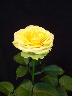 バラ職人新種のバラ9