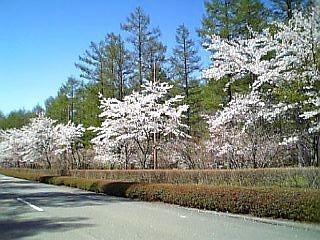 ソメイヨシノの桜並木