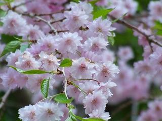金櫻神社の枝垂れさくら