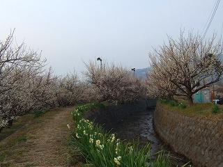 小川と梅と水仙