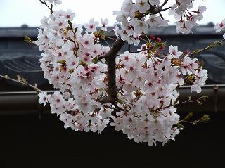 幸福稲荷の桜