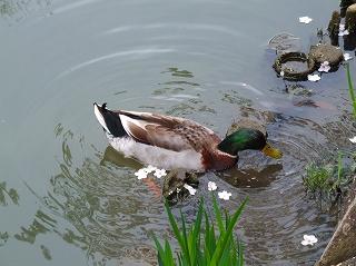 八幡堀の鴨