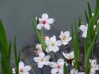 水に落ちた桜