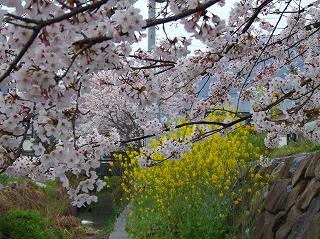 水郷の桜と菜の花