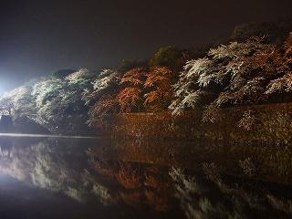 彦根城のお堀の夜桜3