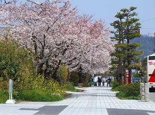 市民会館前の桜