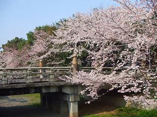 護国神社のお堀の桜
