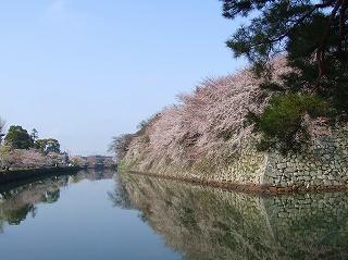 彦根城のお堀の桜
