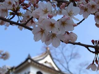 天守閣と桜1
