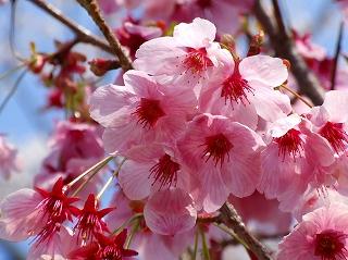 彦根城の桜3