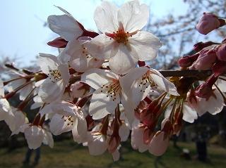 彦根城の桜4