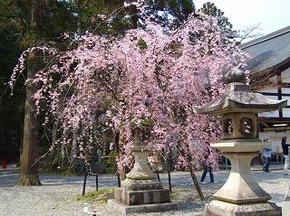 多賀大社枝垂れ桜