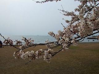 豊公園 湖の桜