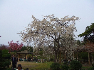 長浜豊公園の桜3