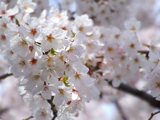 境川東岸通りの桜1