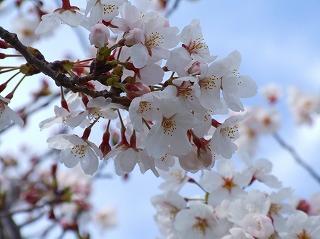 境川東岸通りの桜2