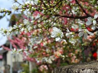 左右天命弁財天近くの桜