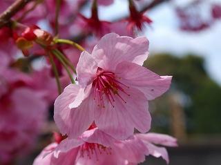 豊受神社桜