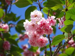 路地の里桜