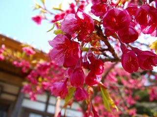 覚翁寺の緋寒桜