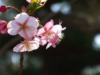 覚翁寺の河津桜