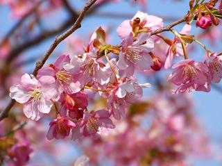 官軍塚の河津桜