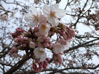 佐倉城址の桜