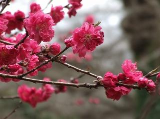 佐倉城址の紅桃