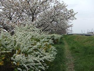 高瀬川岸の桜