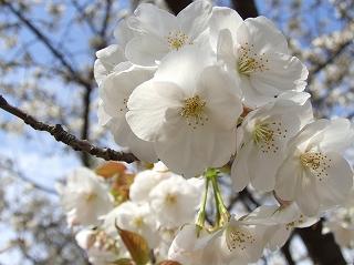 自宅近くの桜