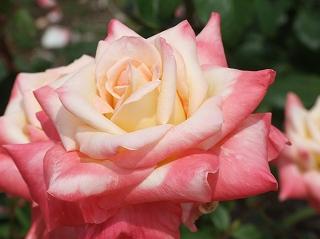 ダイアナ プリンセス オブ ウェールズ /></p>  <p>こちらは、プリンセス・オブ・ダイアナ・ウェールズ。<br /> 先のバラとは確実に品種が違う。<br /> どちらも華やかさでは負けていないね。</p>  <p><br /> <img src=