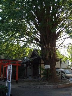 荏原神社横のお稲荷さんのイチョウ