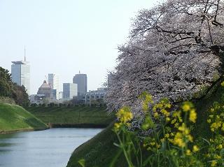 半蔵門濠の桜