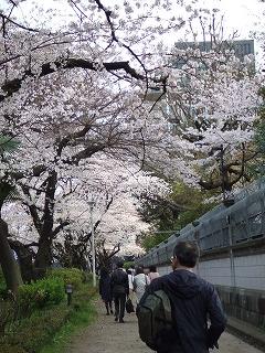 イギリス大使館前の歩道の桜
