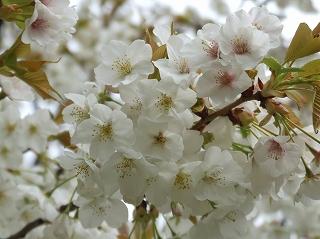 自宅近くの桜 /> <img src=
